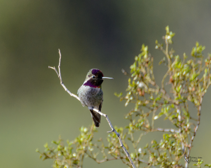 Annas hummingbird in arizona