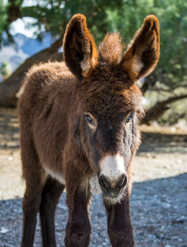 young brown wild burro
