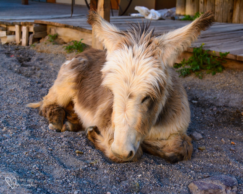 Oatman, Arizona Burros