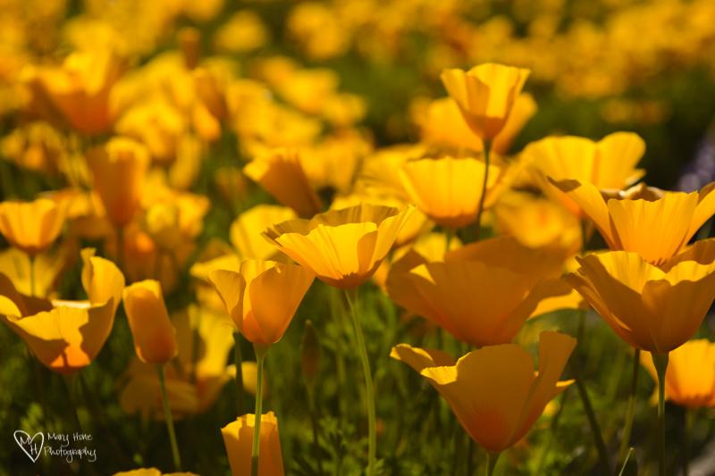 Arizona poppies