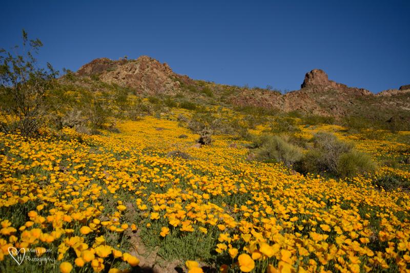 Poppies on Arizona hillside