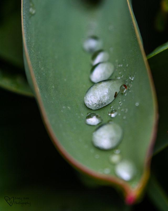raindrops on tulip leaf