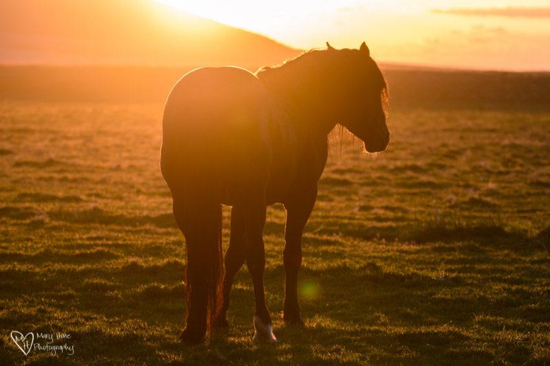 wild horse at sunset