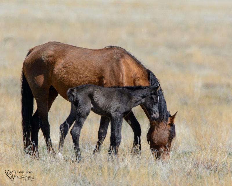 wild horse foal, wild horse baby