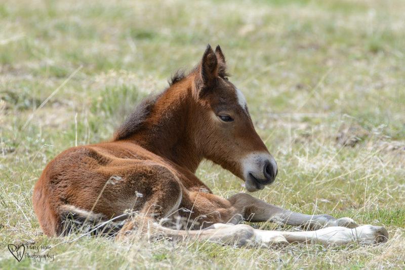wild horse foal laying in the sun