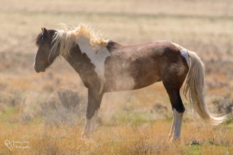 Wild Horse Stallions shaking the dust