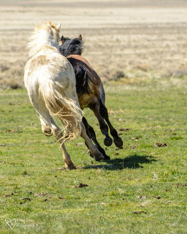 Wild Horse Stallions running