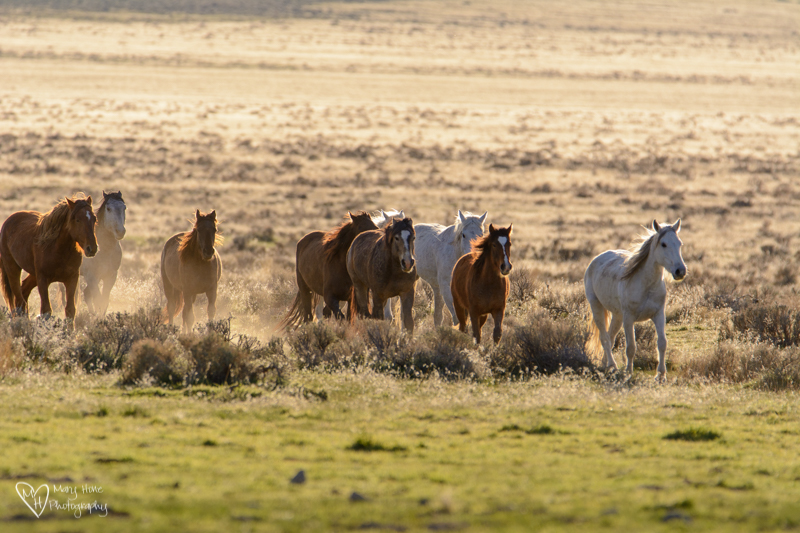 Wild Horses going to water