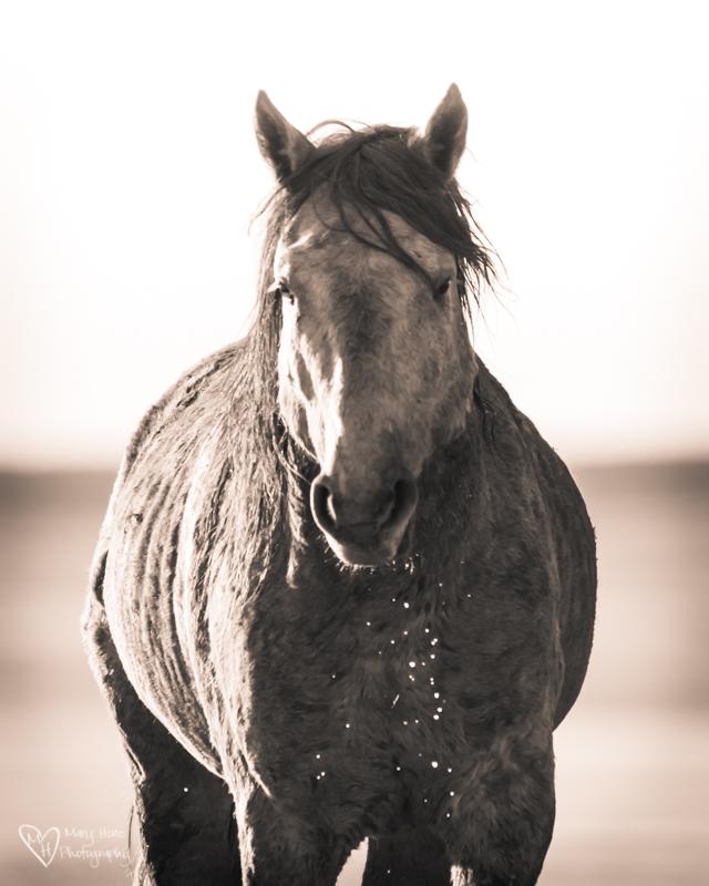 Wild Horse Stallions