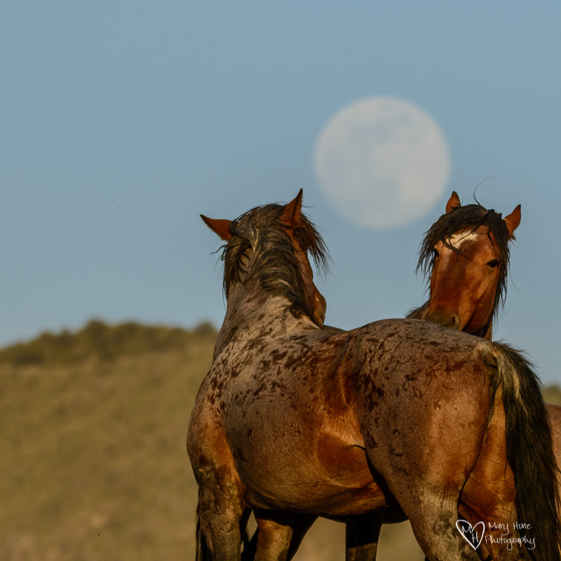 wild horses with the full moon