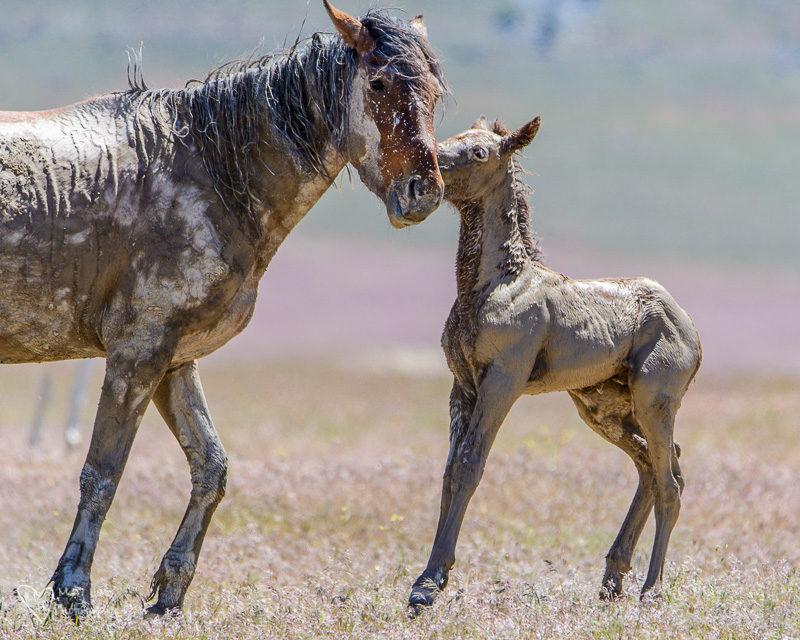 muddy wild horse foals