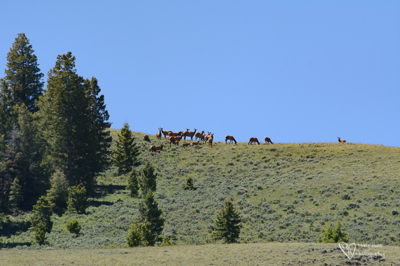 elk herd in idaho