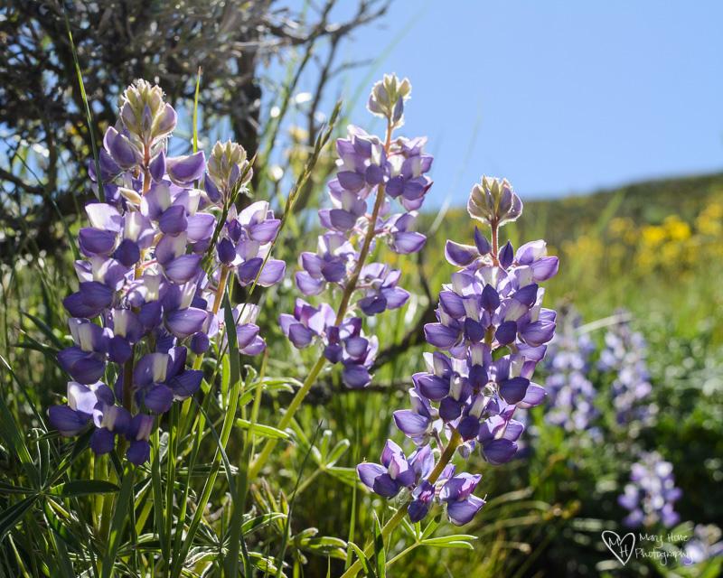 purple lupine in idaho