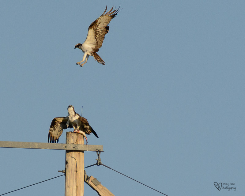 osprey trying to steal fish
