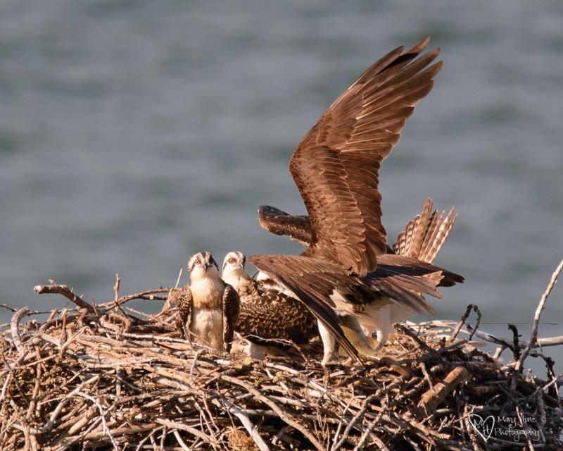 family of osprey