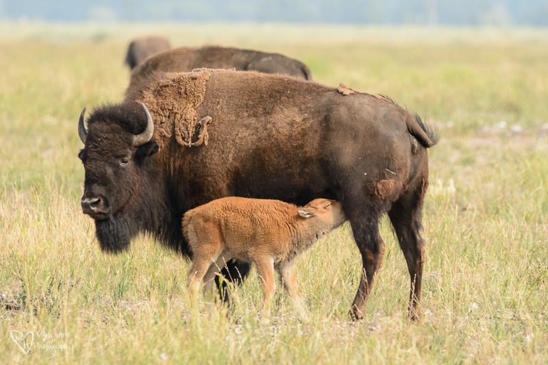 baby bison feeding