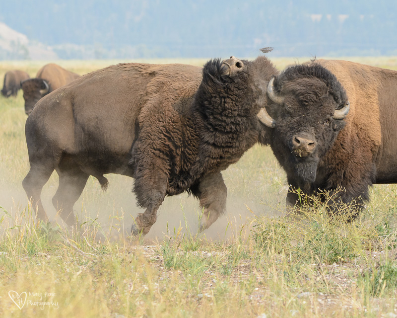 bison fighting
