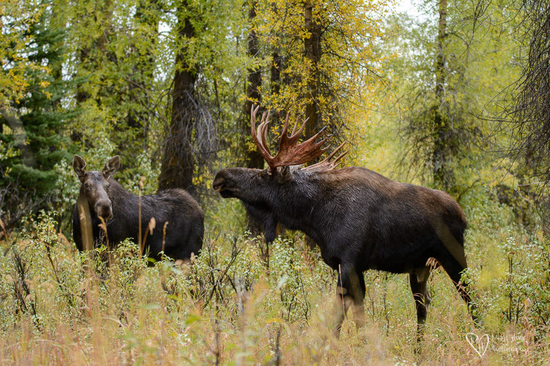 A Tale of Two Moose, bull moose in the fall