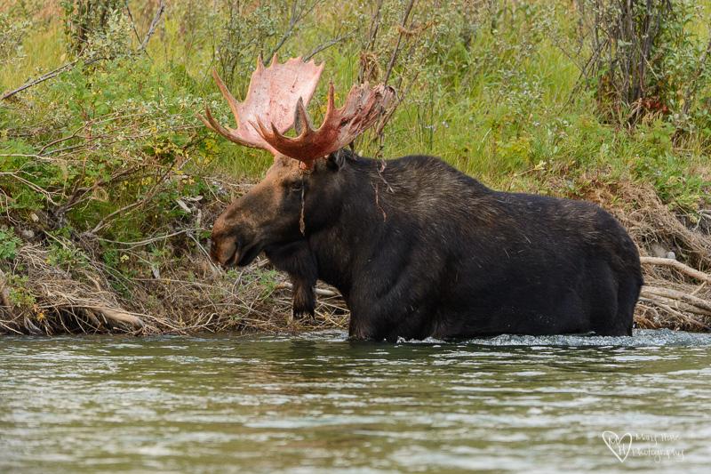 Moose in Wyoming, bull moose in river