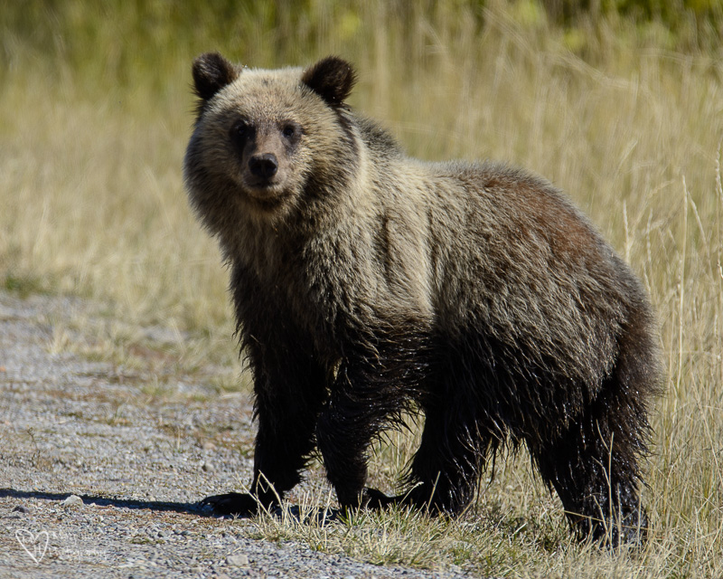 399 grizzly cub