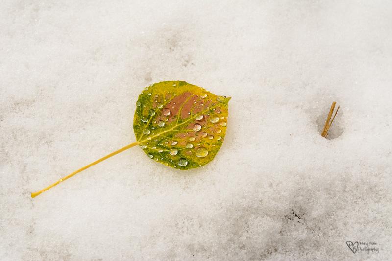 aspen leaf in snow