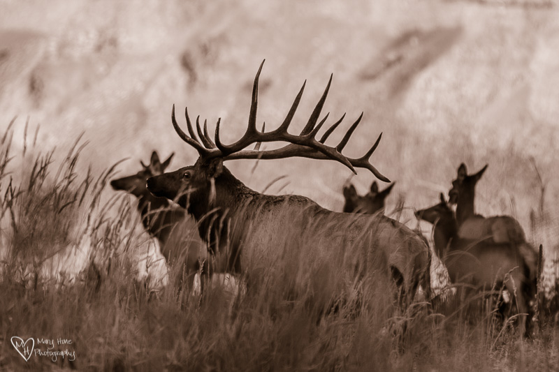 bull elk with cows