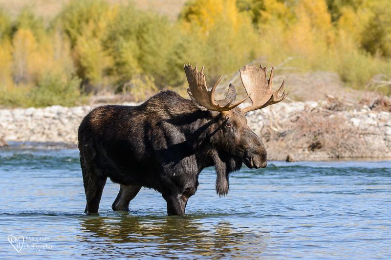 bull moose in the river