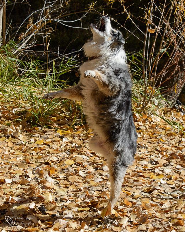 mini aussie jumping