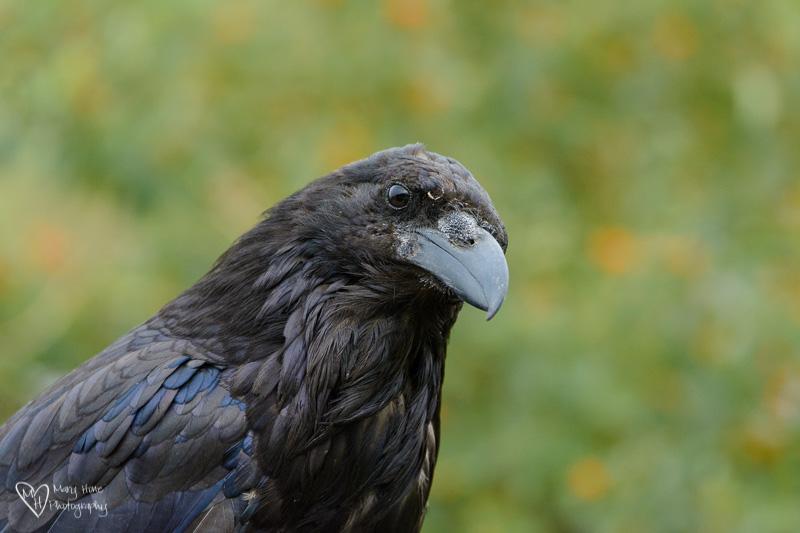 Up close Raven