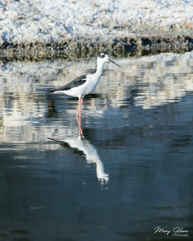 black necked stilt at the salton sea