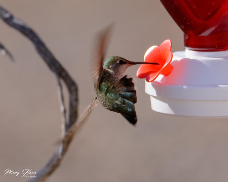 hummingbirda at feeder