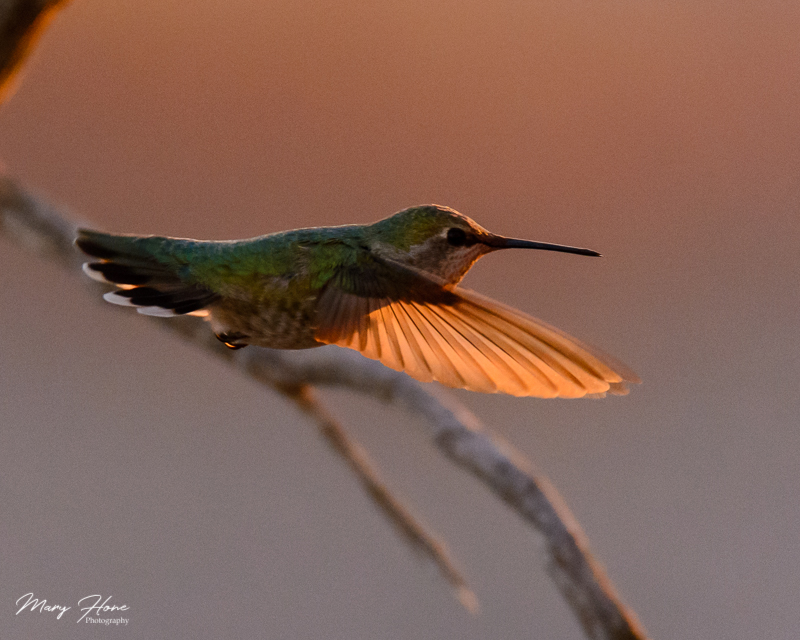 annas hummingbird in flight at sunset