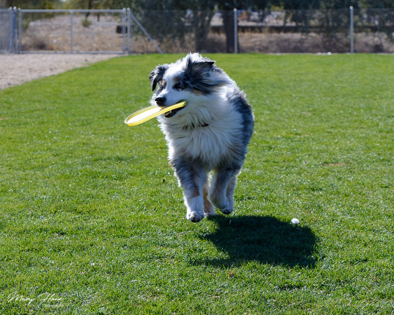 playing frisbee at the dog park