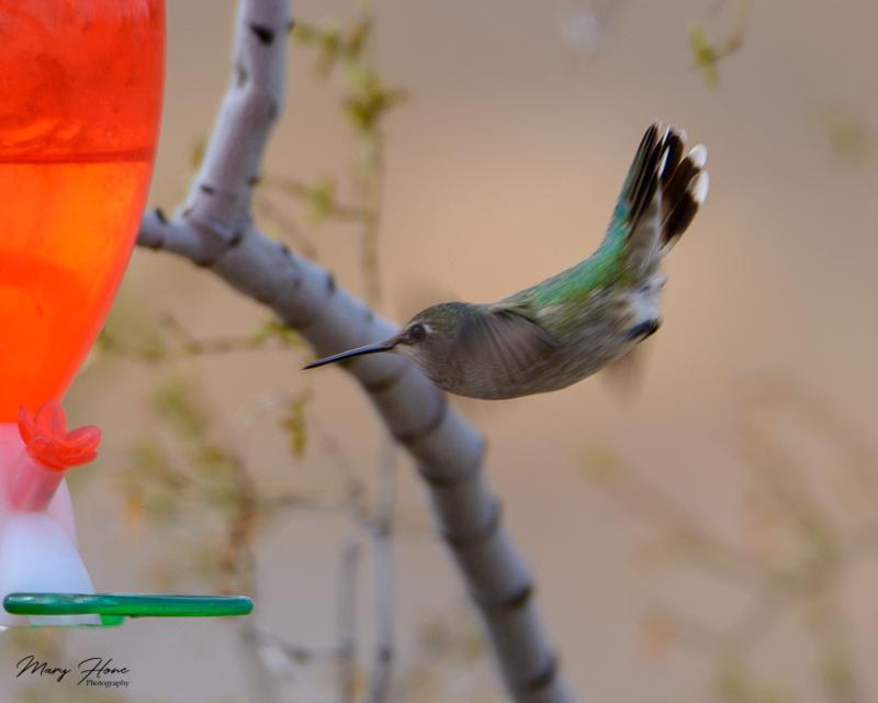 My hummingbird buddies, costas hummingbird male