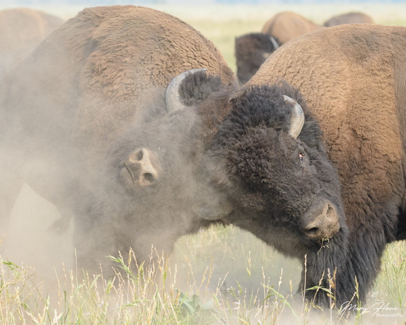 fighting bison,From Clicking to Creating