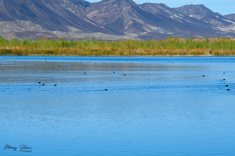 birds in a lake by the colorado river