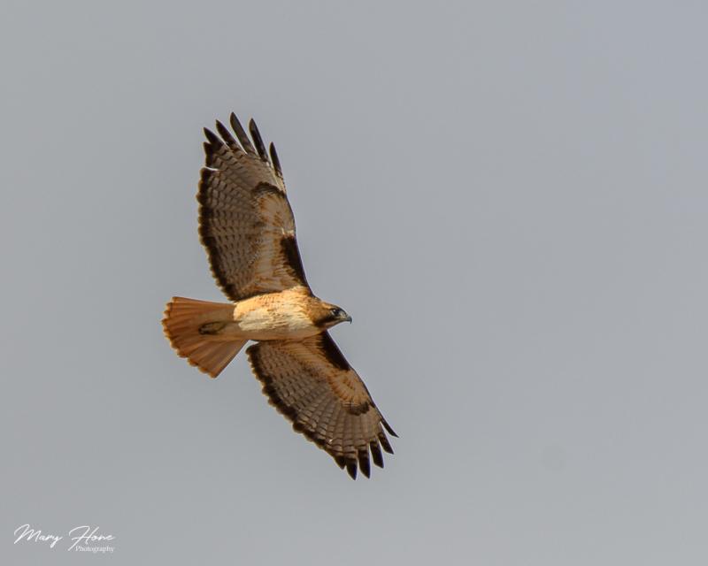 redtail hawk flying