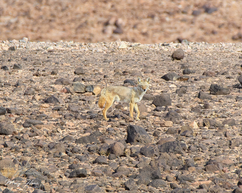 coyote in the desert