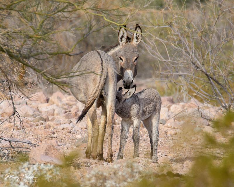 baby burro nursing