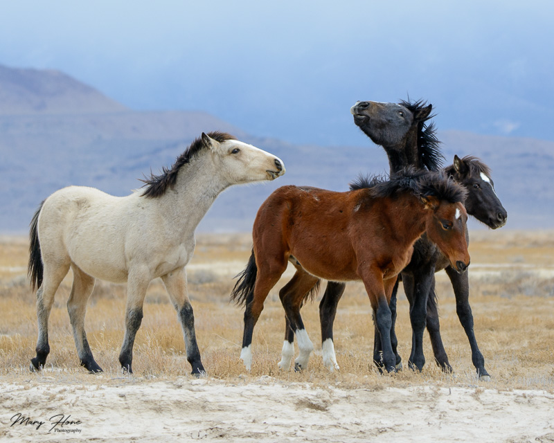 young wild horse colts