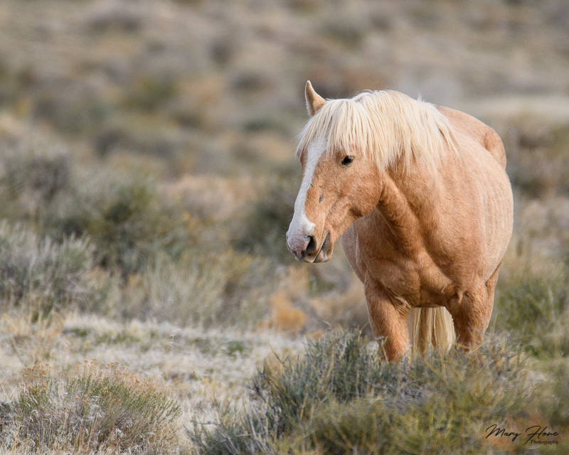wild horse one eared palomino