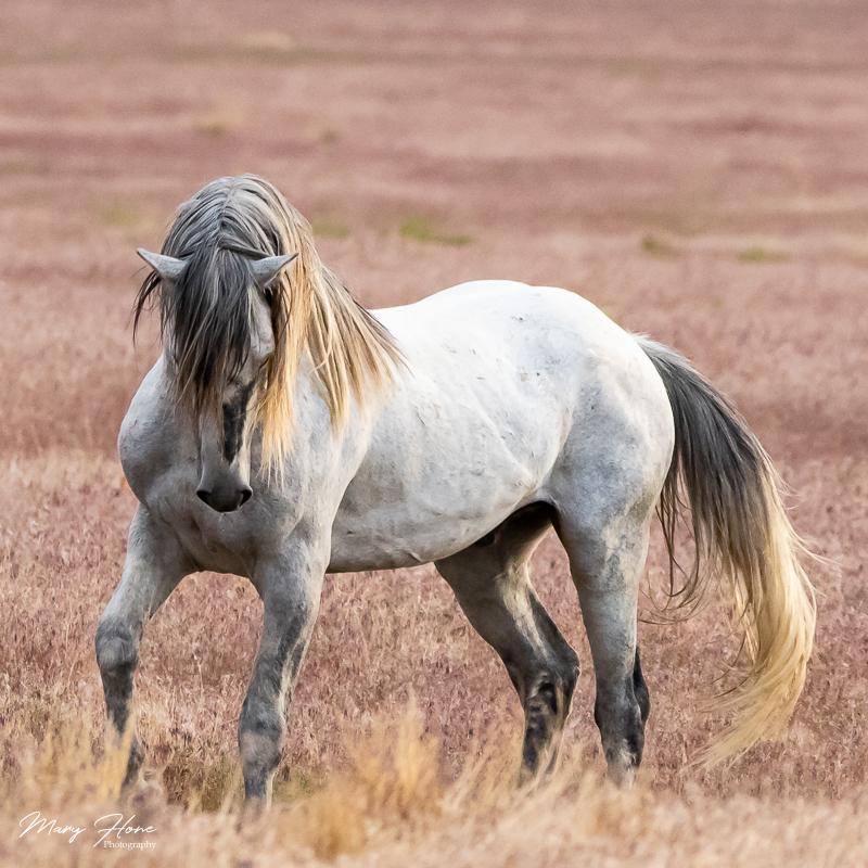 wild horses, goliath