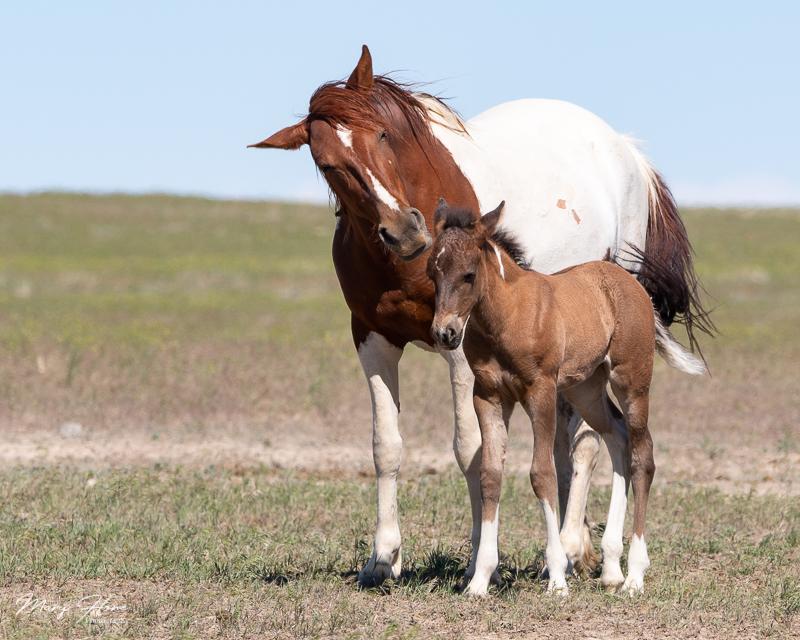 wild horse foal