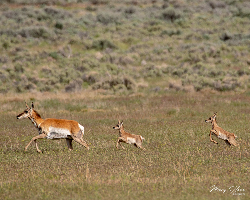 pronghorn antelope baby twins running