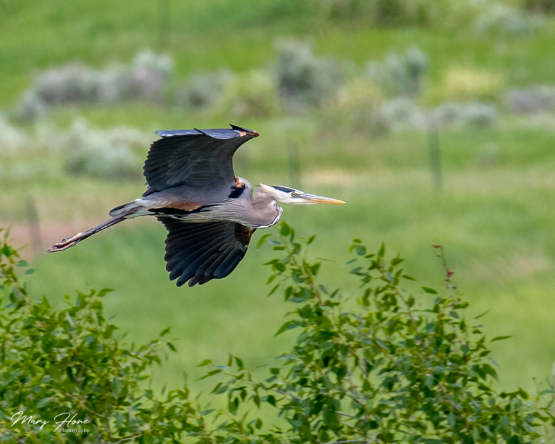 blue heron on the snake river in idaho