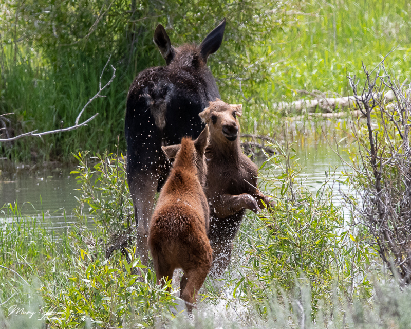 Twin Baby Moose in Grand Teton NP playing in the water