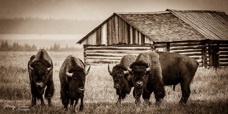 sepia bison photo