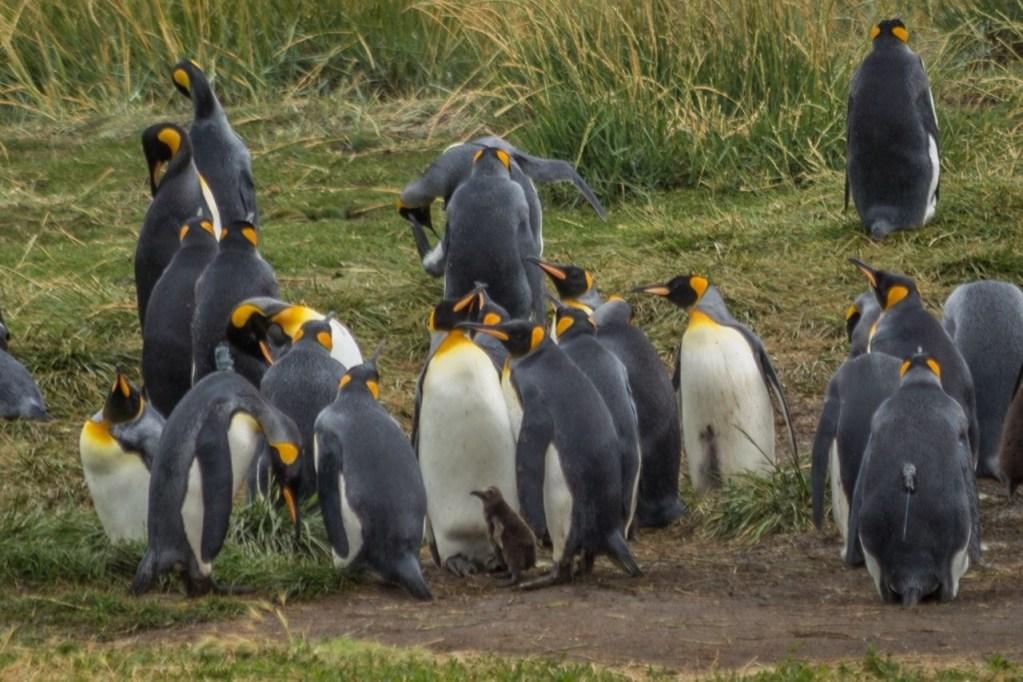 The King Penguins of Tierra Del Fuego