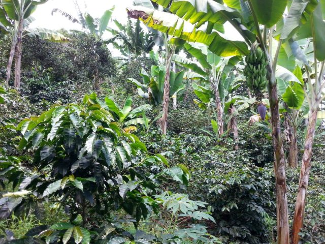 In the Coffee Plantation, Banana trees provide shade & fertilizer