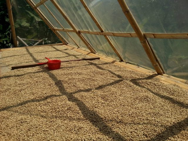 Coffee beans in Salento lie out to dry in the sun